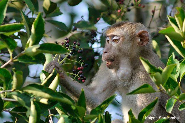 Pig-tailed macaques are also common dispersers of S. chinensis seeds. Photo by Kulpat Saralamba.