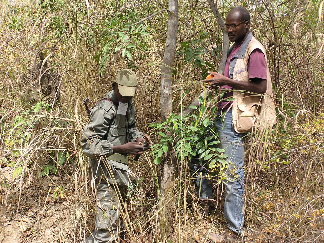 "field assistants collecting Khaya senegalensis leave sample for genetic analysis in the ""W"" National Park in Benin.(Photo: O Gaoue)"