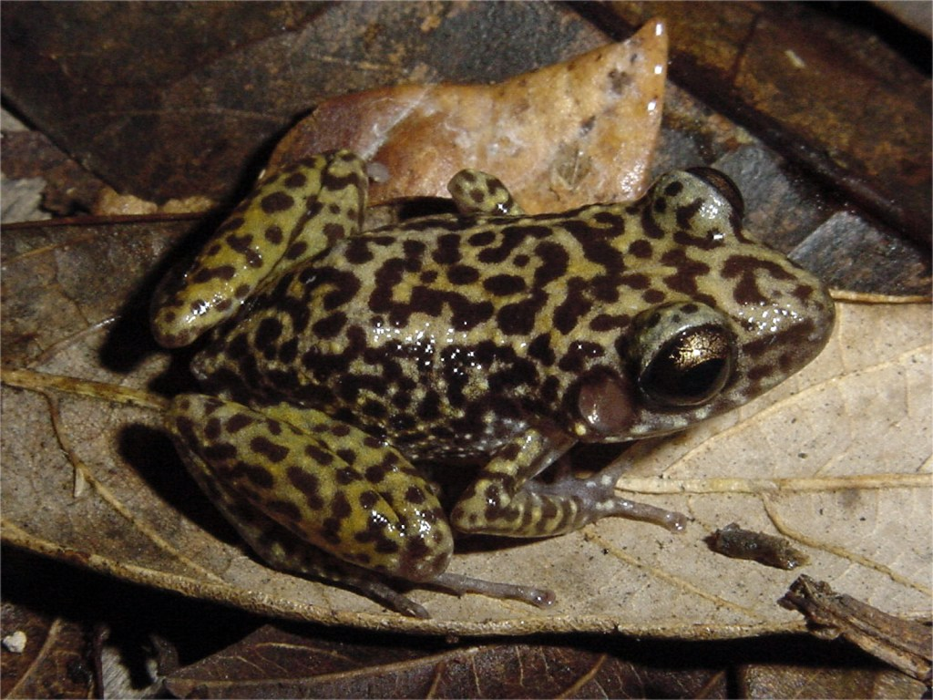 Eleutherodactylus ricordii: This species is considered covered by the Protected Areas network according to the representation targets used in the paper (Photo by Ansel Fong).