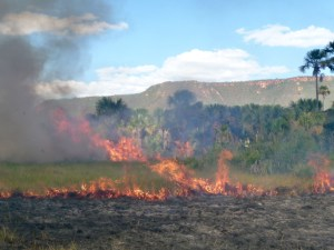 "Figure 2. Fire experiments conducted in wet grasslands to evaluate how fire affects vegetation composition, structure and dynamics. Local people usually burn the wet grasslands every two years in order to stimulate the production of flowering stalks of Syngonanthus nitens (""capim dourado "" - golden grass/ Eriocaulaceae), which is used in handcraft. (Photo: Alessandra Fidelis)"