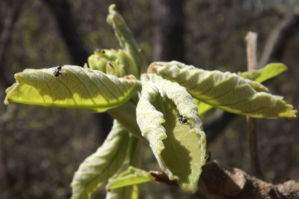 Workers of Cephalotes pusillus foraging on the young leaves of Caryocar brasiliense (Photo by Elmo Koch)