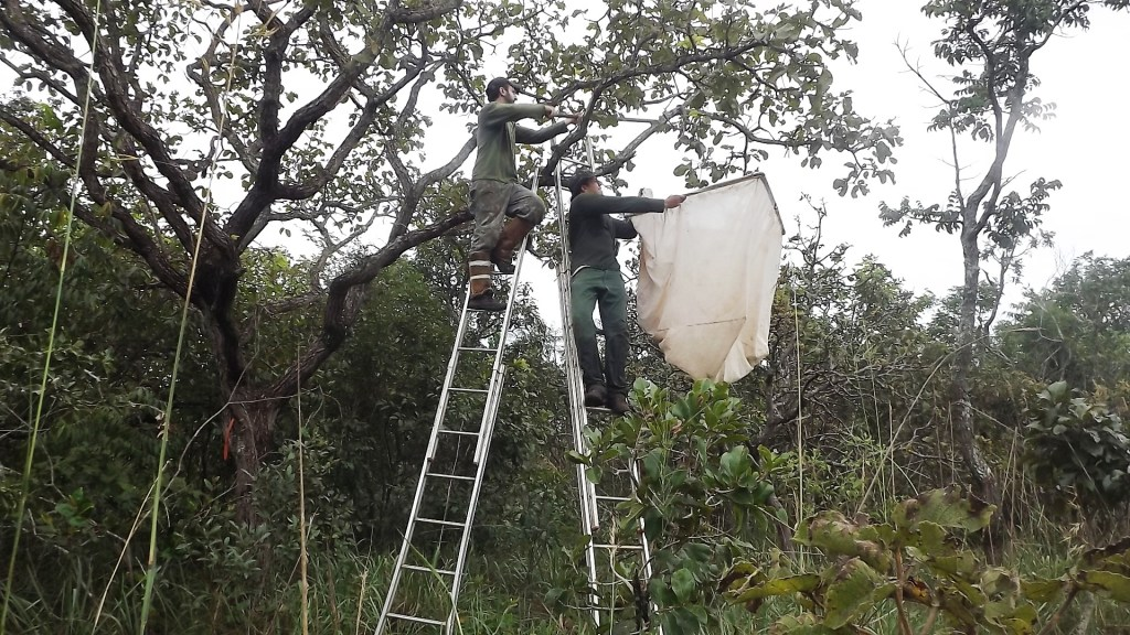 Figure 3. Flávio Camarota (left) and Elmo Koch (right) sampling the ant fauna associated with a large-sized reproductive Caryocar brasiliense tree. The method consisted in beating the branches and leaves in order to dislodge the ants into a collection-sheet placed immediately beneath. (Photo by Jesica Vieira)