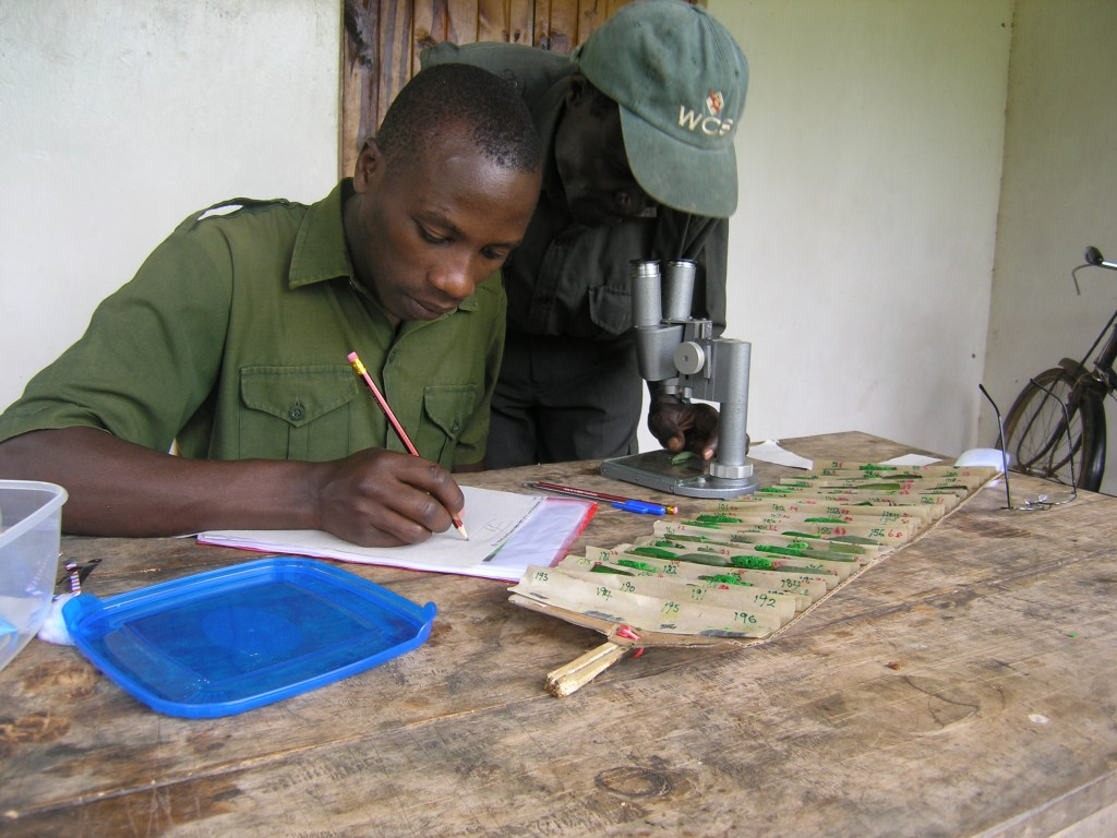 Scoring of damages to caterpillars by Mwesige Isaiah, Francis Katuramu Kanywanii, also showing the cardboard tray for dummies that I invented. (Photo: Freerk Molleman).