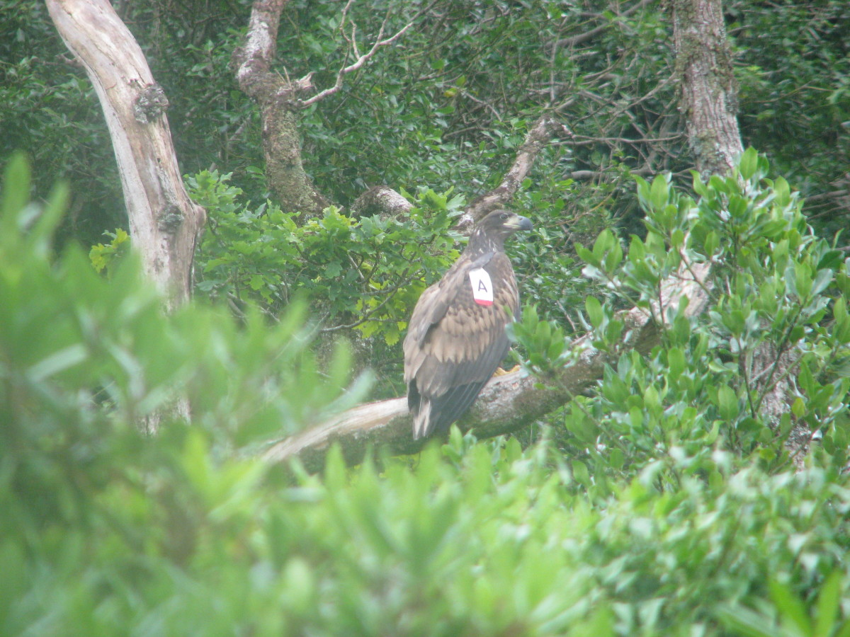 A 2008 bird perched and surrounded by the invasive Rhododendron. (Photo by Sean O'Callaghan)