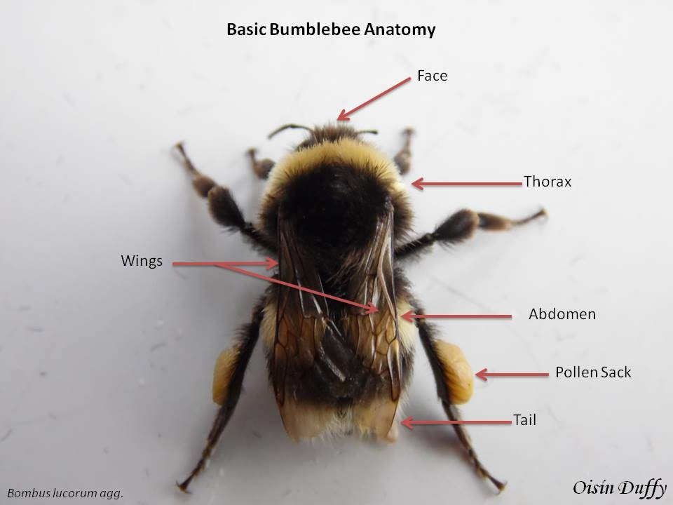 Basic Bumblebee anatomy – Oisín Duffy