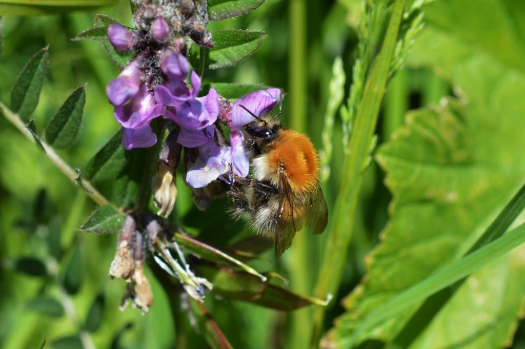 Common Carder Bee (Bombus pascuorum) feeding on Bush Vetch (Vicia sepium) – Oisín Duffy