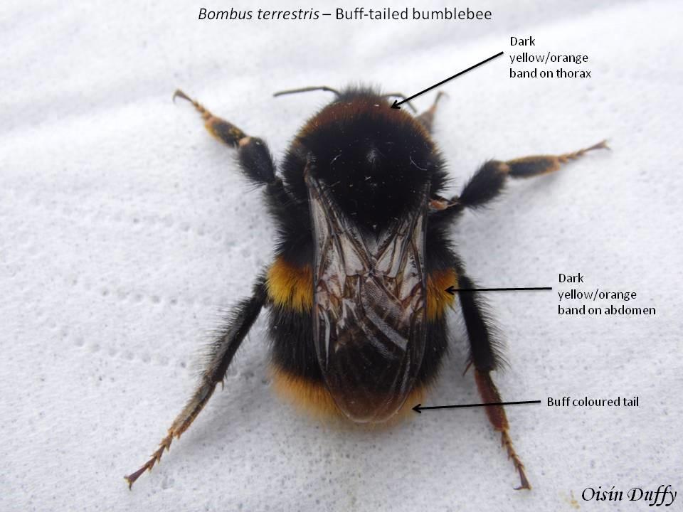 Buff Tailed Bumblebee Bombus Terrestris Id Guide Bioweb