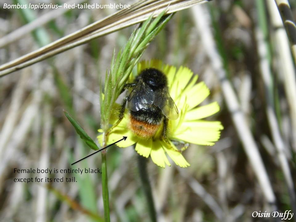 Red-tailed Bumblebee (B. lapidarius) showing its distinctive black body and red tail – Oisín Duffy