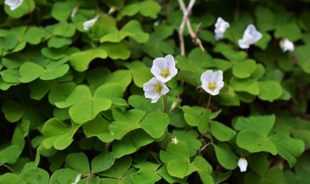 Flowers and leaves of Wood Sorrel – Oisín Duffy