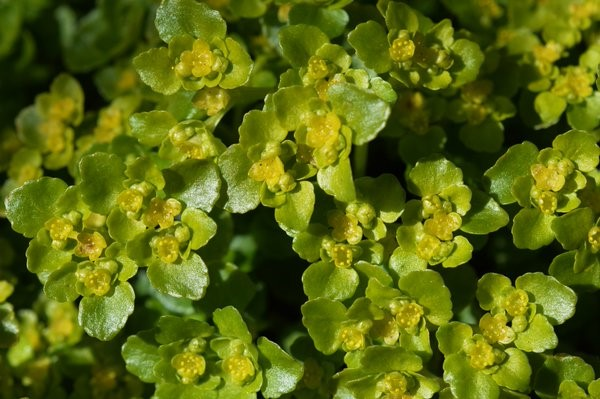 Opposite-Leaved Golden-Saxifrage (Chrysosplenium oppositifolium) – Oisín Duffy