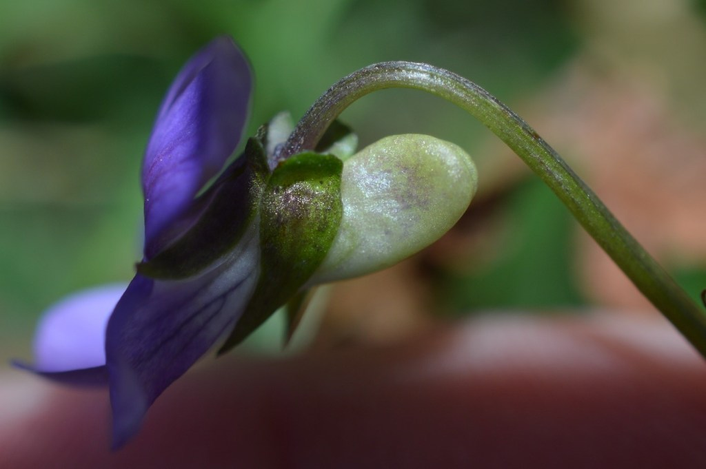 Pale spur of Common Dog-Violet (Viola riviniana), you can just about see the notch along the apex of the spur. – Oisín Duffy