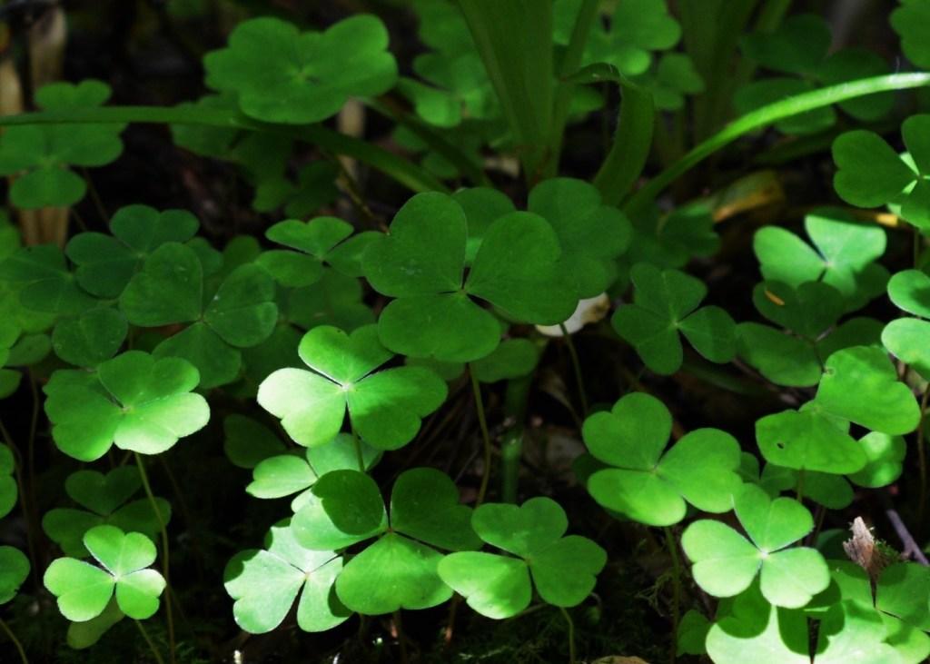 The distinctive trifoliate leaves of Wood Sorrel – Oisín Duffy