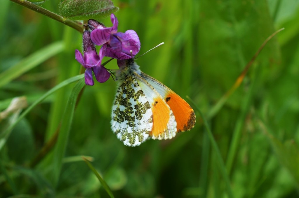 An Orange-tip Butterfly (Male) feeding on Bush Vetch (Vicia sepium) – Oisín Duffy