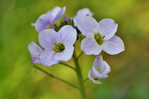 Cuckoo Flower / Lady's Smock (Cardamine pratensis) from a damp grassland in Co. Donegal. – Oisín Duffy