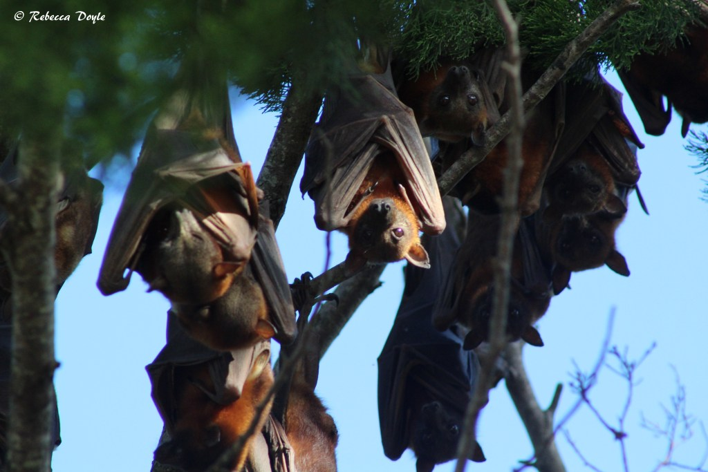 Fruit bats hanging in their hundreds at Hervey Bay, Queensland. Photo- Rebecca Doyle