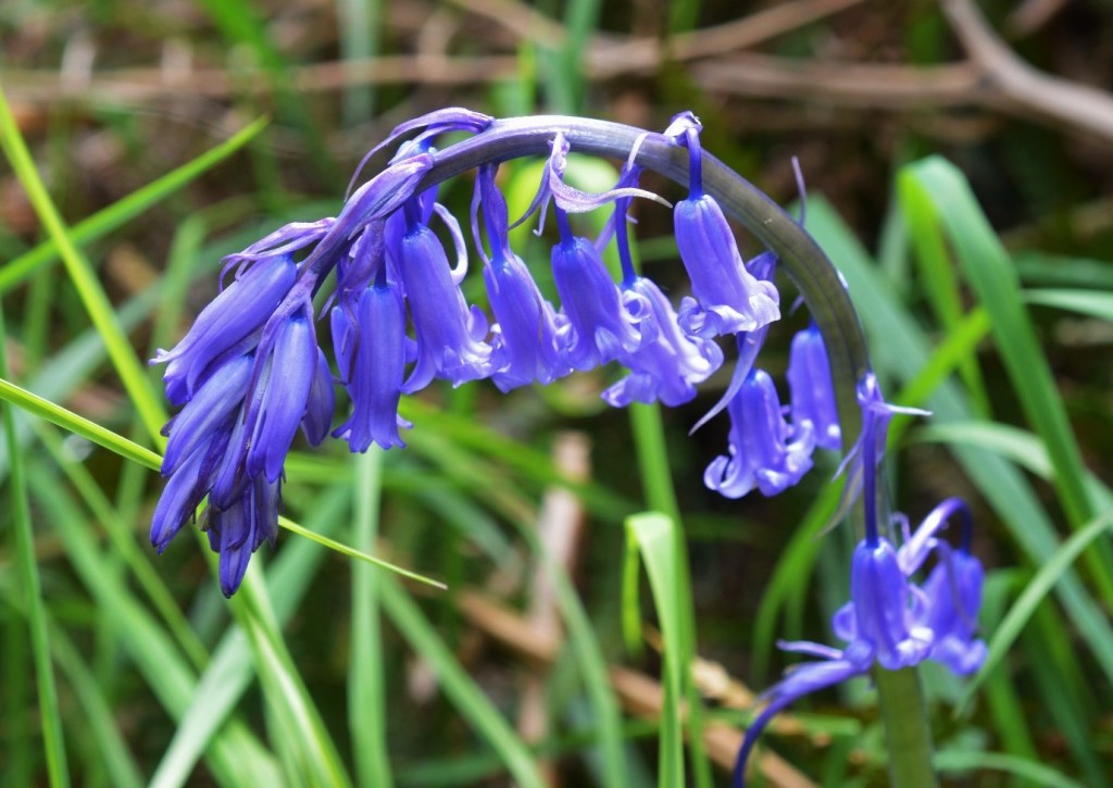 One sided, drooping bell shaped flowers of bluebells are extremely distinctive – Oisín Duffy