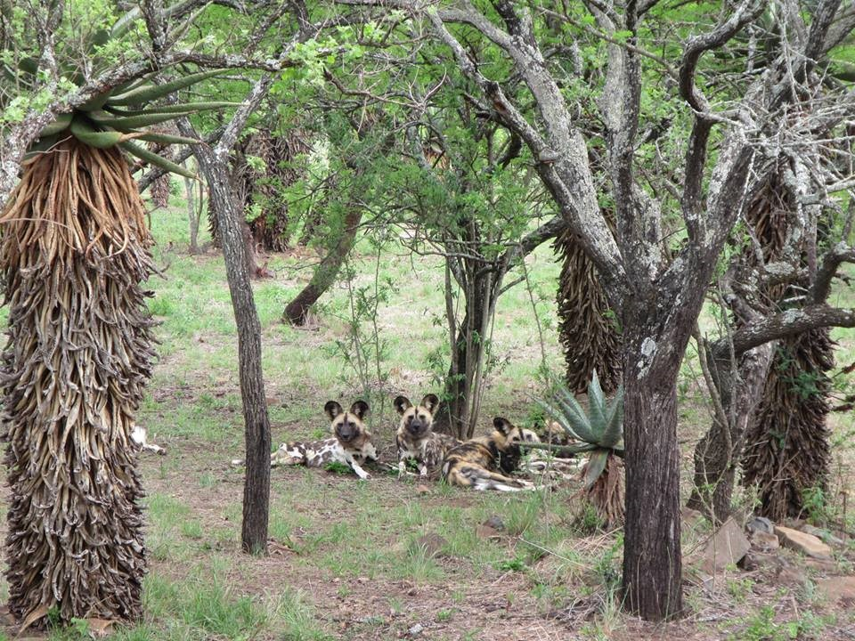 The temporary residents at the reserve (African Wild Dogs)