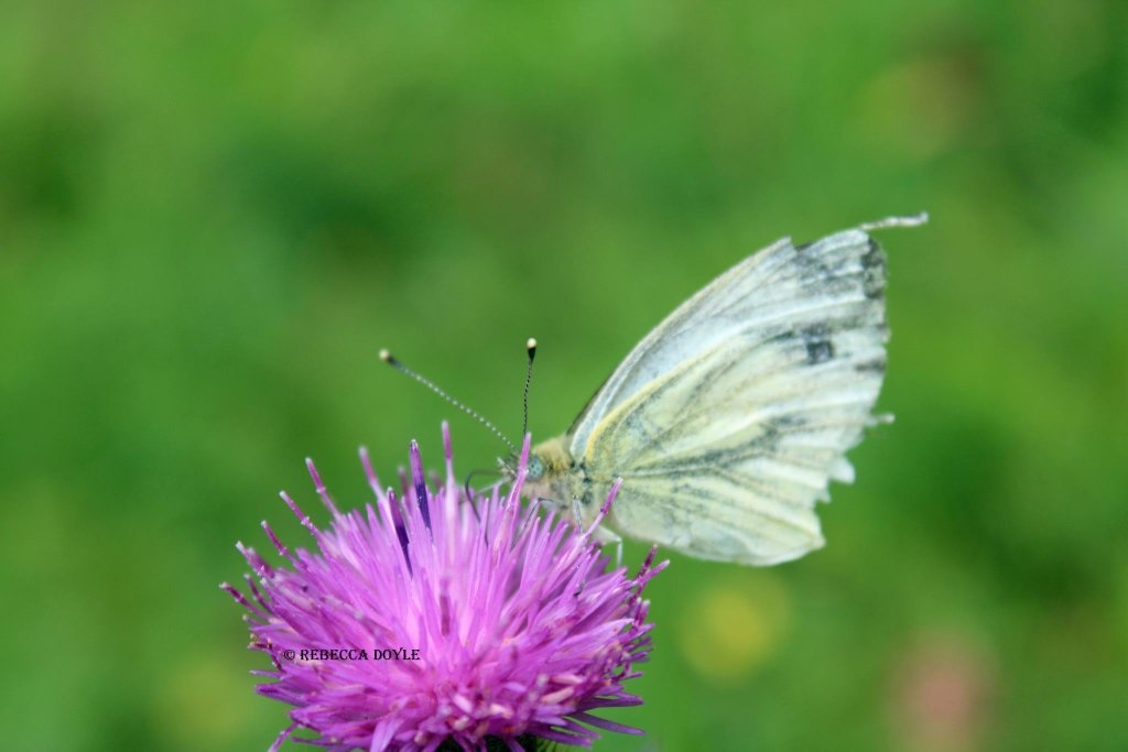 A green-veined white butterfly, common throughout Ireland