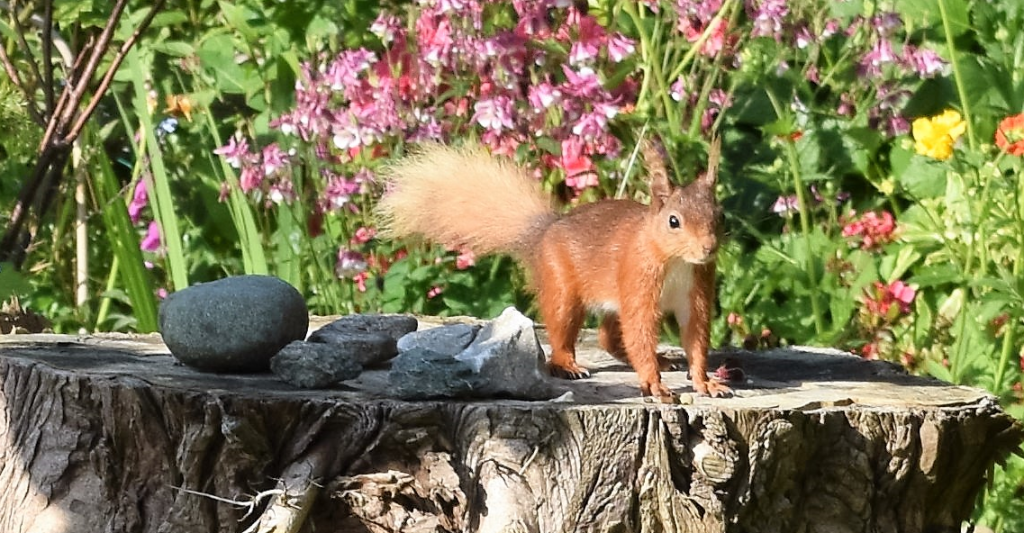 Red squirrel in garden on Anglesey, North Wales.