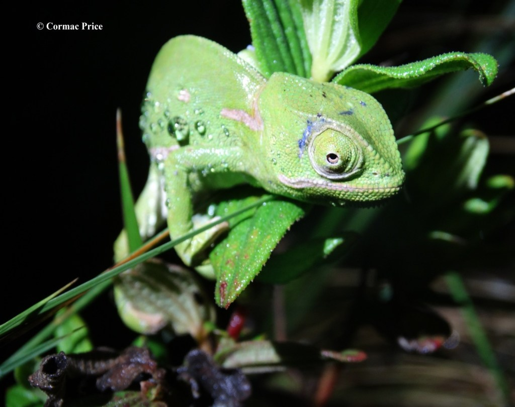 the-flap-necked-chameleon-we-encountered-between-ponds