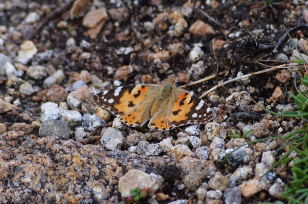 Painted Lady – From Tory Island, Co. Donegal. Showing the topside of the wing, you can clearly see the black wing tips with white mottling. Oisín Duffy