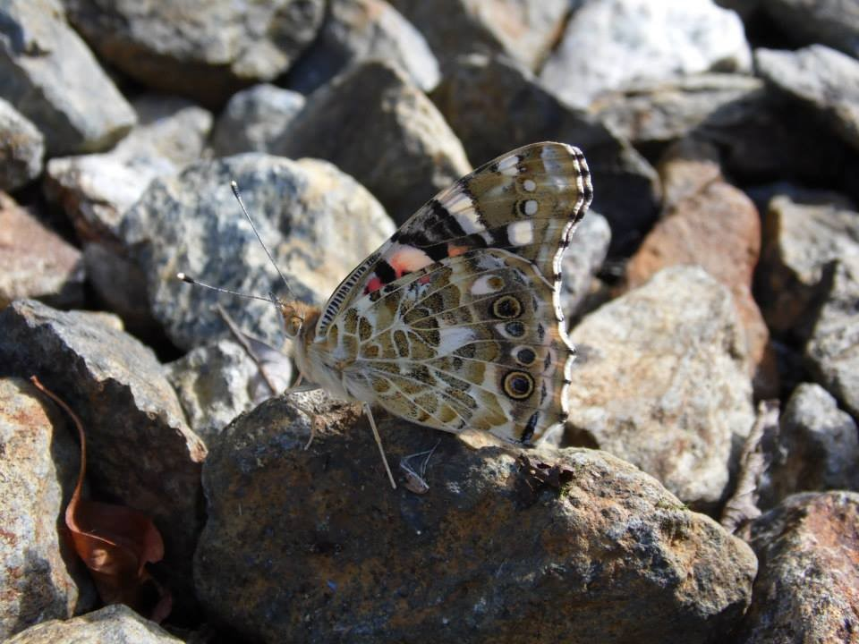 Close-up of the underside of a Painted Lady, this particular individual was very hard to see from a distance and taking the picture involved lying prone on an old railway track – Oisín Duffy