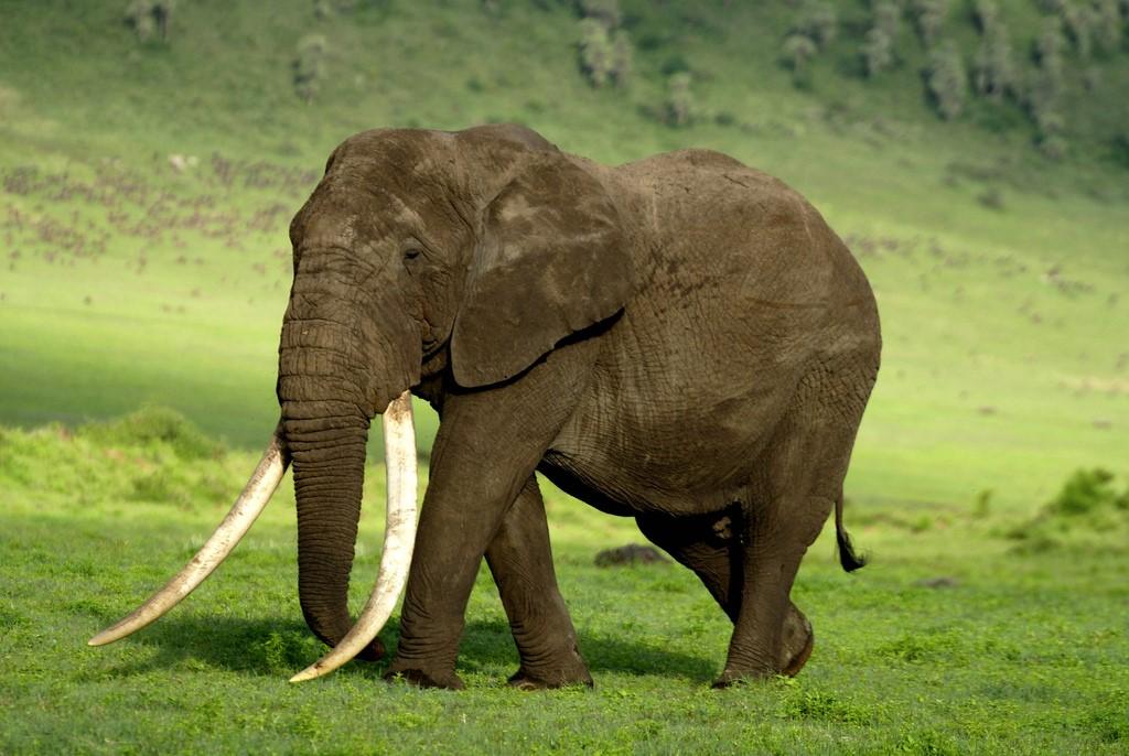 Geoffrey Degens, 2009. Big Tusker, Ngorongoro crater.