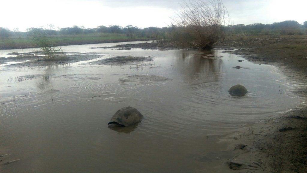 2 serrated hinged terrapins being released in Ndumo reserve