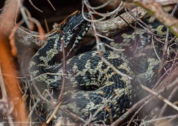 Adder photographed in situ at one of the local NWWT reserves. Credit: Ben Owens