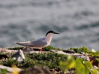 Roseate Tern looking out to sea on Rockabill Island. (Image Credit: Lorna Gill, taken under NPWS licence)