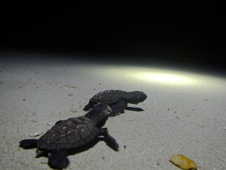 Hawksbill hatchlings making their way to the water after hatching © NC University