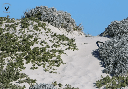 Fig 3. With the correct protection measures in place dune habitat can recover.