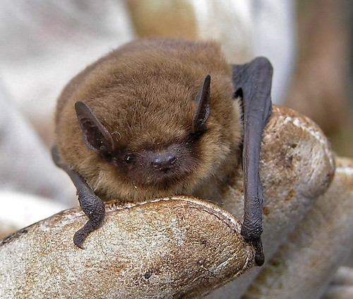 Pipistrellus pipistrellus (Common pipistrelle)
