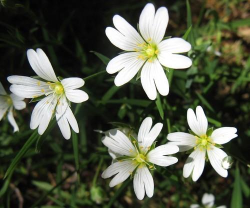 Stellaria holostea (Greater stitchwort)