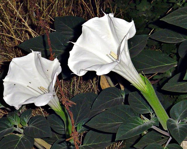 Datura Stramonium/Jimson Weed
