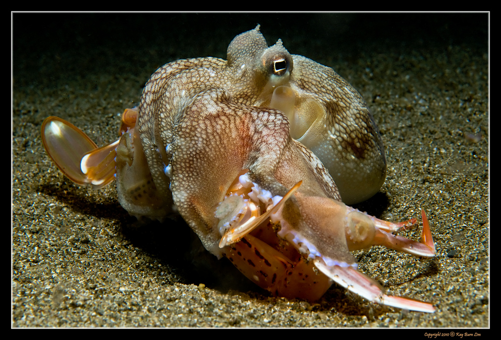 Image Result For Crab Eating Competition