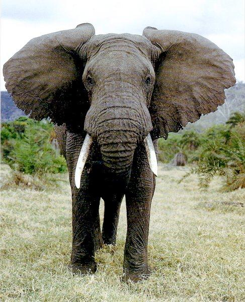 Image result for african elephant