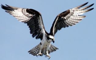 https://i1.wp.com/bioweb.uwlax.edu/bio203/s2007/taylor_andr/images/Osprey.jpg