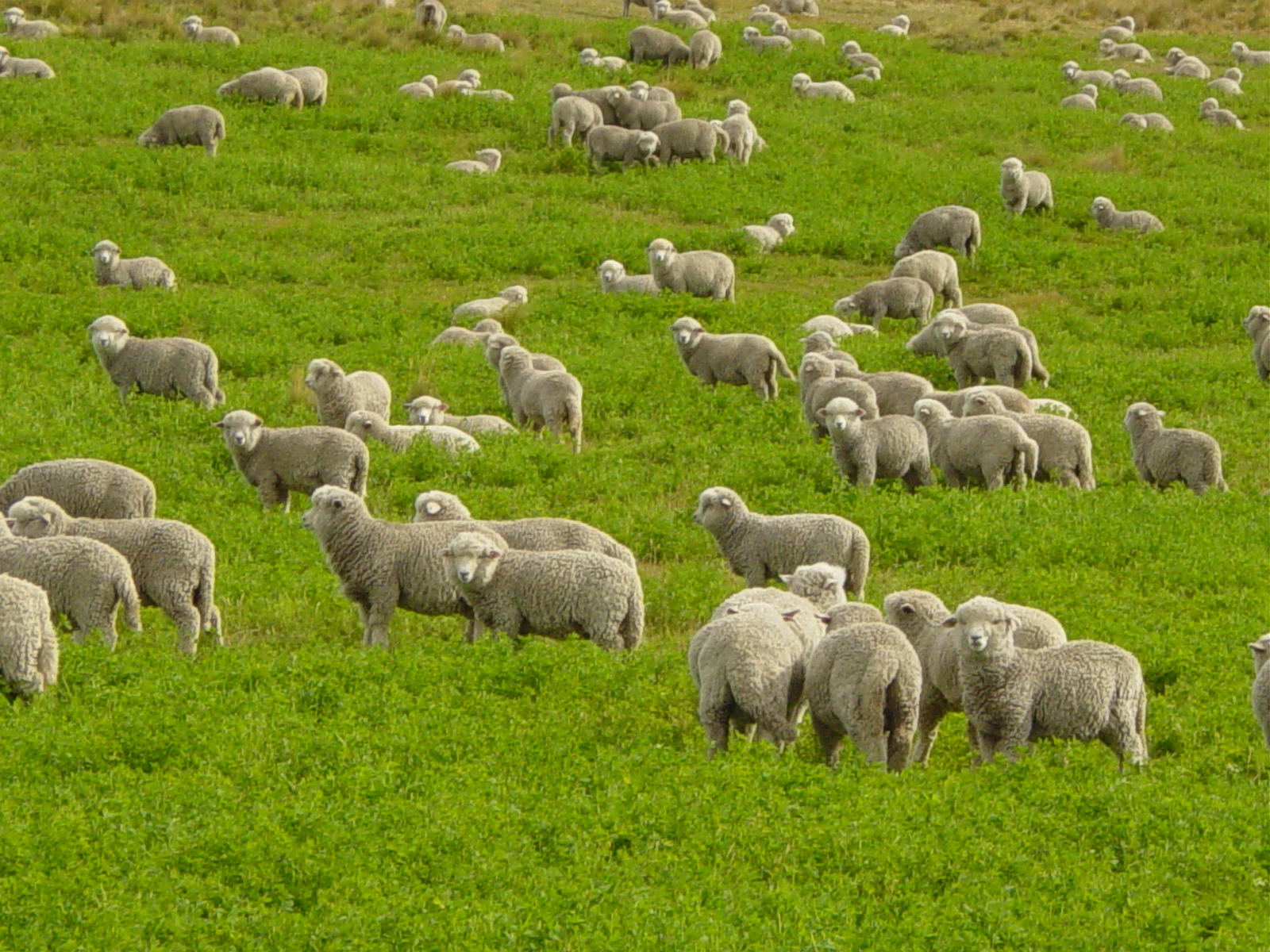 Flock of Sheep--Courtesy of Wikimedia Commons