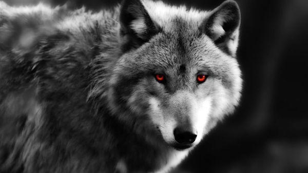 Красивые картинки волки (40 фото) 🔥 Прикольные картинки и юмор