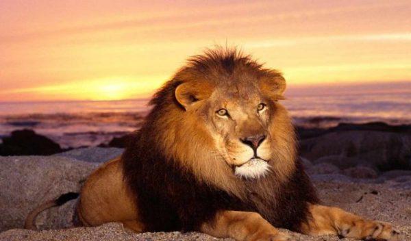 Красивые картинки львы на рабочий стол (35 фото ...