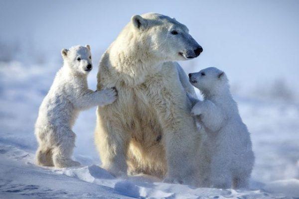Фото белые медведи (30 фото) 🔥 Прикольные картинки и юмор