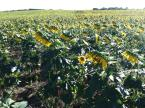 About 10 minutes from me is this random, never ending field of sunflowers