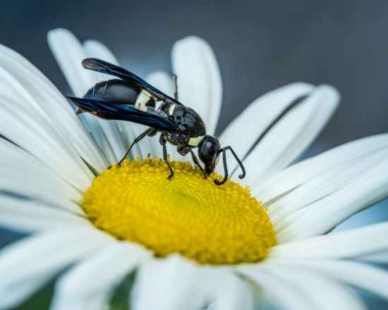 wasp sipping nectar on chamomile in garden