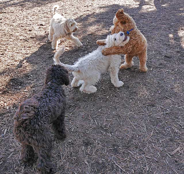 Four labradoodles and golden doodles playing