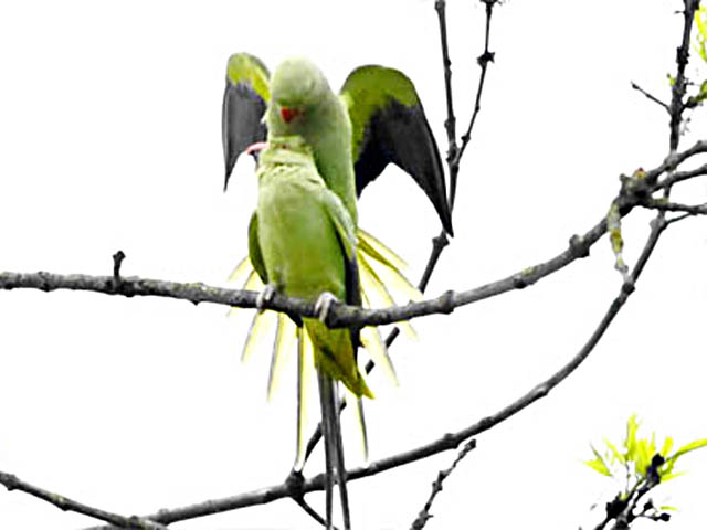 male-parrot-mounts-female-amsterdam