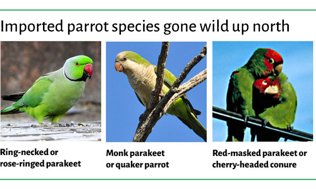 Imported parrot species gone wild up north