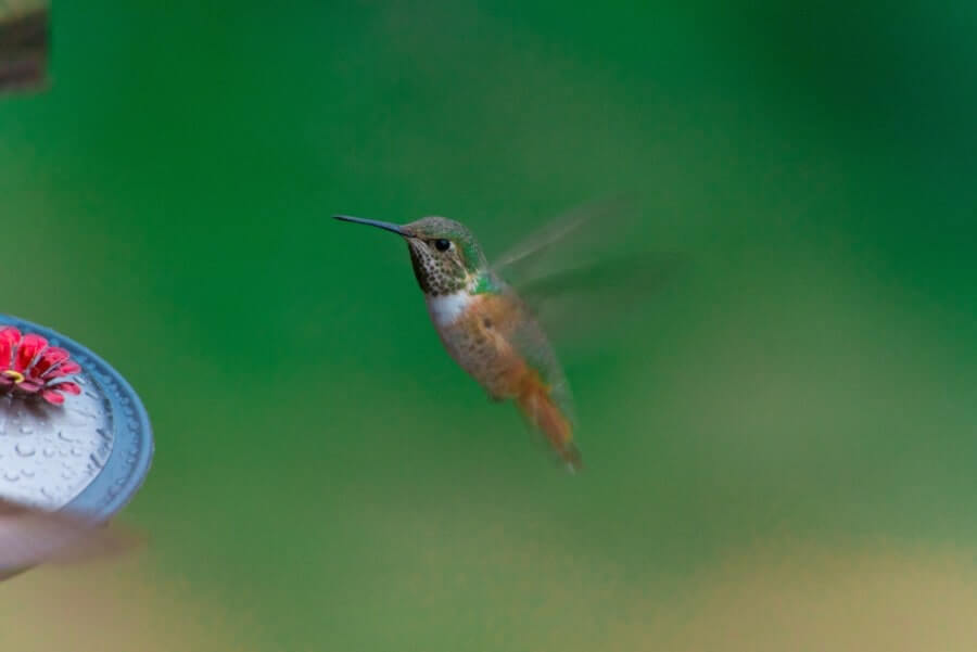 The Best Hummingbird Water Recipe For Your Hummingbird Bird Bath