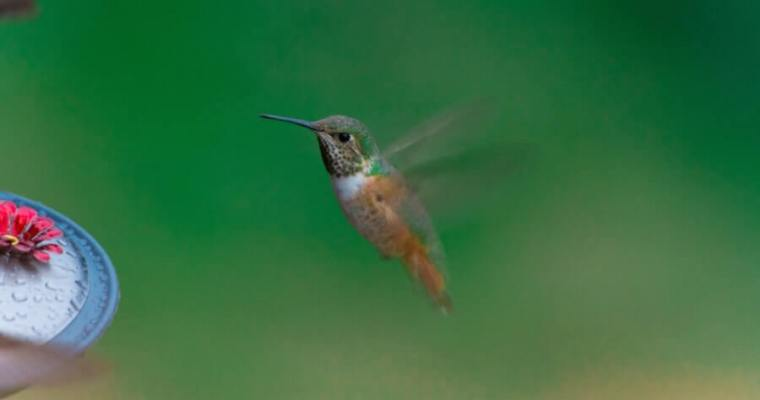 The Best Hummingbird Water Recipe For Your Hummingbird Bird Bath