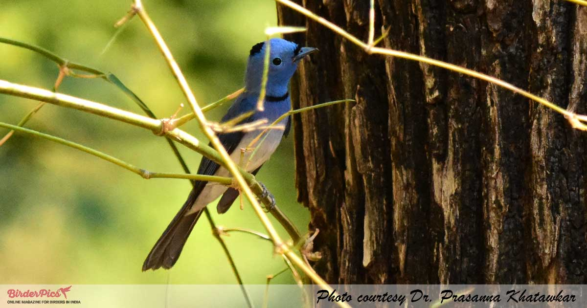 Black-naped-Monarch